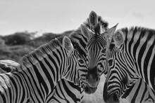 Zebras Putting Their Heads Together In Etosha National Park