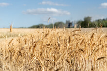 Scenic Landscape Of Ripe Golden Organic Wheat Stalk Field Against Blue Sky On Bright Sunny Summer Day. Cereal Crop Harvest Growth Background. Agricultural Agribuisness Business Concept