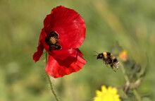 Closeup Shot Of A Bee Flying To The Red Poppy On The Green Background