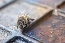 Bee's Tongue - Bee Drinks Water