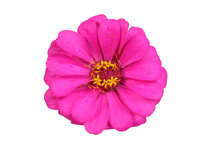 Pink Zinnia Isolated On White. Very Detailed