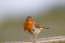 Adult Male Robin Standing On A Gate In The Winter With A Natural Green Background