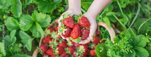 Canvas Print A child with strawberries in the hands. Selective focus.