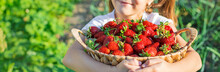 A Child With Strawberries In The Hands. Selective Focus.
