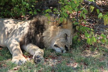 Two Male Lions Relaxing Under A Tree