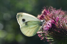 The Green-veined White (Pieris Napi) Butterfly On Meadow. Big White Butterfly Collecting Nectar On Wild Flowers