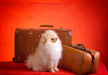 White Fluffy Puppy Waiting For Trips And Travel Near The Suitcase