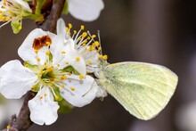 A Cabbage Butterfly (lat.Pieris Brassicae) Sits On A White Plum Tree Flower In Spring In April
