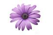 margherita africana viola con sfondo bianco