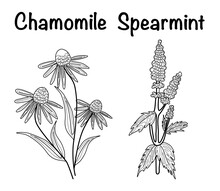 Vector Illustration Of A Tea Herbs Spearmint, Chamomile And Tea Bag  Sketch Elements For Labels, Packaging And Postcard Design. Herbal Tea With Mint And Chamomile
