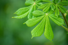 Green Chestnut Leaves In Beautiful Light. Spring Season, Spring Colors.