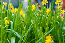 Large Bunch Of Young Daffodils In The Garden