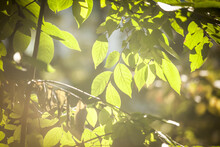Beautiful View Of Green Leaves Under Sunlight