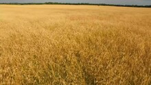 Low Flyover Of Golden Wheat