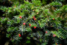 Red Yew Fruits On Twigs.