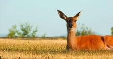 4K Deer In Field Macro Close Up