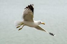 Seagull Flies Over Lake Elizabeth In Fremont Central Park