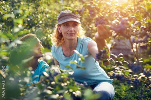 Obraz na plátně Modern family picking blueberries on a organic farm - family business concept