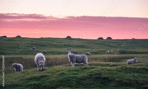 Fotografía Lot of lambs pastures in meadow at summer night in Lofoten, Norway