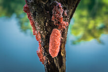 Red Snail Eggs On The Dead Branch