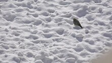 4k Starling Bird  In Search Of Food Uhd Stock Video