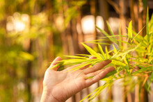 Woman Hand Touching Bamboo Leaves In Morning Sunlight
