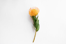 Close Up Shot Of Beautiful Pincushion Protea Flower With Vivid Orange Yellow-orange Inflorescence. Tropical African Sugarbush Plant Isolated On White. Background, Copy Space For Text.