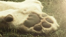The Paw Of A Sleeping Lion