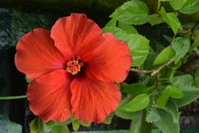 Rain Drops On Each Petals Of Hibiscus Flower With Dense Leaves In Background.