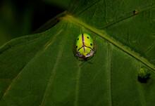 Indian Green Tortoise Shell Beetle, Chiridopsis Bipunctata, Kudremukh Wildlife Sanctuary, Karnataka India
