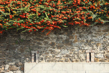 Closeup Of Red And Orange Berries Of Pyracantha Coccinea On A Stone Wall In A Garden
