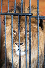 Lion In A Cage In A Zoo Portrait