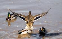 Wild Ducks On The Spring Pond