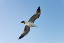 Isolated Low Angle Portrait Of A Seagull Flying In Blue, Clear Sky At An Afternoon, Lit From Behind.