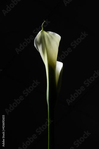 Photo Calla Lily close up on black background. Macro Photography