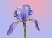 Tall Blue Bearded Iris,colorful Background