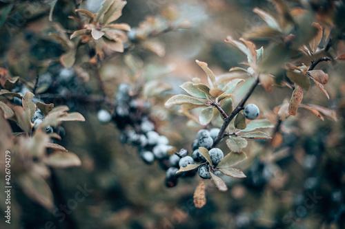 Fototapeta Sloe berries on blackthorn (Prunus spinosa)