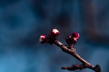 Red Buds On A Branch