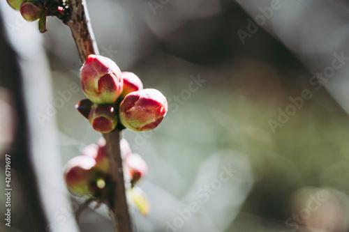 Billede på lærred Bourgeon de cognassier du japon sur la branche de l'arbre