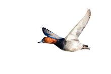 Pochard Aythya Ferina Duck Cut Out Flying On A White Background