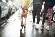 Gay Male Couple Walking Dog On Rainy Street