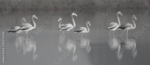 Fototapeta Flamingos in einem See // Flamingos in a lake obraz