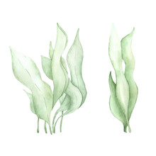 Watercolor Illustration Of Seaweed. Perfect For Printing, Web, Textile Design, Various Souvenirs And Other Creative Ideas.