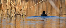 Coot Bird Swimming Over Lake Surface In Sunset With Material For The Nest