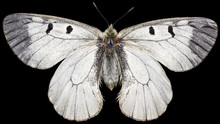 The Clouded Apollo Parnassius Mnemosyne Is A Butterfly Species Of The Family Of Swallowtail Butterflies (Papilionidae). Dorsal View Of Isolated White Swallowtail Butterfly On Black Background.