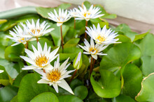 White Water Lotus In The Water With Gree Leaf.