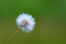 A Dandelion Flower In Bloom