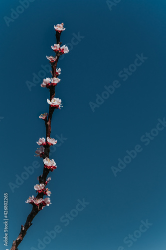 Obraz A vertically directed branch of blooming prunes against the sky, background for a postcard - fototapety do salonu