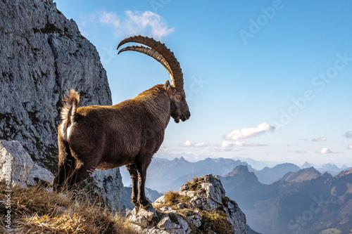 Tablou Canvas Der König der Alpen