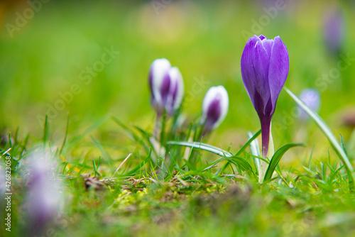 Krokusy wiosna